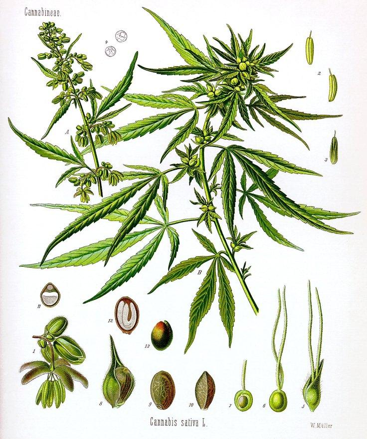 Cannabis, Sativa, Fruchtkörper, Blüte, männlich, weiblich, Blütenkelch